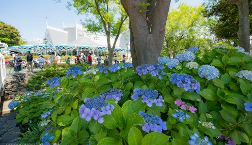 紫陽花(あじさい)を求めて歩く東京ディズニーリゾート